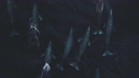 águas : whales swim in deep ocean waters - (aerial photography)