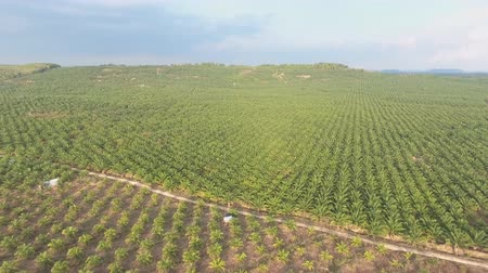 Aerial view of large palm plantations (palm oil) in Malaysia.