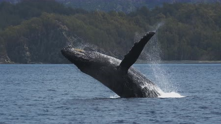 madagaskar : Humpback Whale (Megaptera novaeangliae) Stok Video