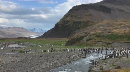King penguins on South Georgia Island, Antarctica Стоковые видеозаписи