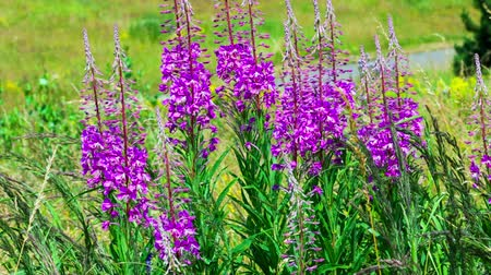 flower : fireweed swaying in the wind Stock Footage
