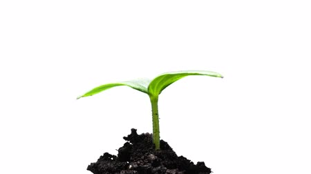 The growth of young green plants Stok Video