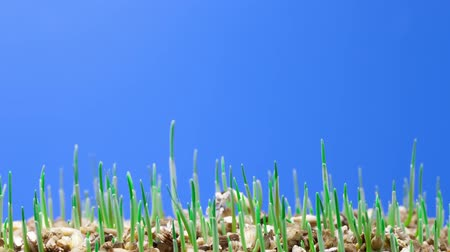 crescimento : growth of green grass plants