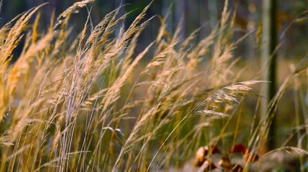 krzak : Dry grass in the field Wideo