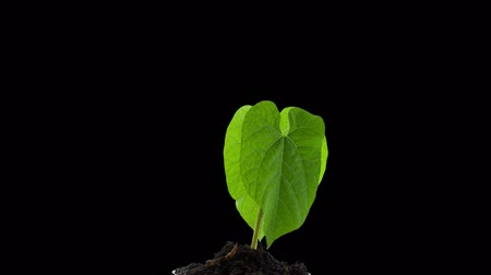 semínko : Grows Sprouting Out Of Ground, plant timelapse Growing