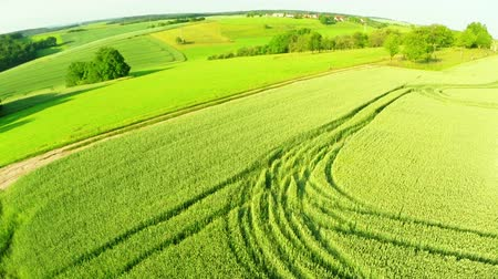 drone : wheat field with a birds-eye view