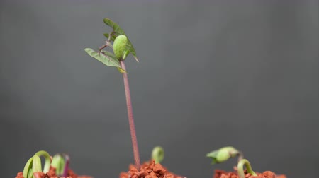 rostoucí : timelapse of plant growing
