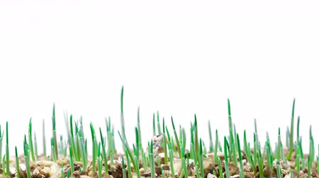crescimento : growth of green grass