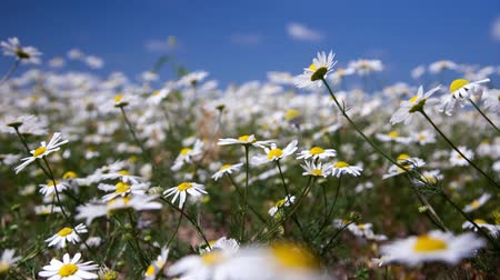 otlak : daisy flowers on summer meadow, time lapse