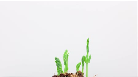 crescimento : The growth of pea sprout on a white background timelapse