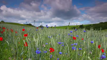 луг : Meadow with poppy flowers