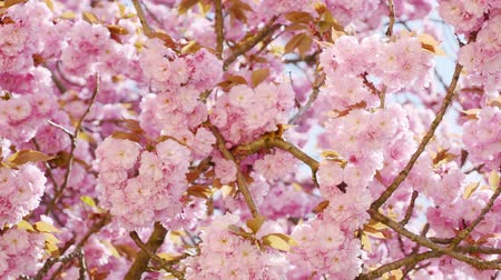 blooms : flowers sakura cherry blossoms in the spring Stock Footage