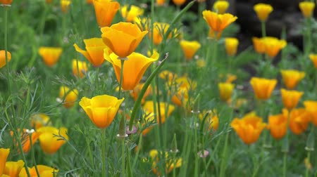 mák : Yellow California Poppy Stock mozgókép