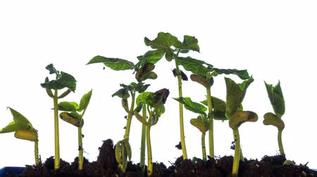 Taugé Plant Groei Timelapse Time-Lapse groene gras groeien Close-up Time Lapse Footage Bean zaadgerminatie Stockvideo