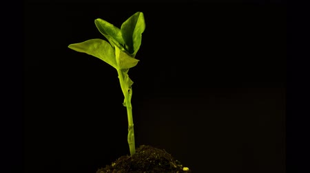 crescimento : Growing plant on black background, time lapse