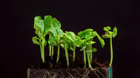 büyüyen : Time-Lapse Of Growing bean Plants With Alpha Channel Stok Video