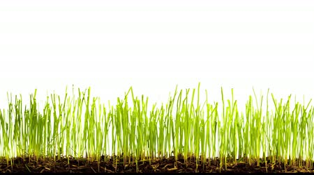 kiełki : Growing grass on white background time lapse