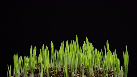 kiełki : Barley grass growing timelapse on black background