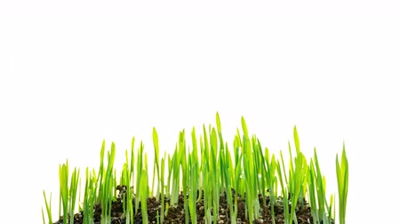 kiełki : Oat Grass  growing time-lapse isolated on white background time lapse Wideo