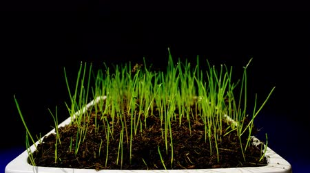 stalk : Growing grass on black background time lapse