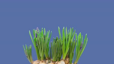 jacinto : Time lapse of purple grape hyacinth  Muscari   flowers blooming.