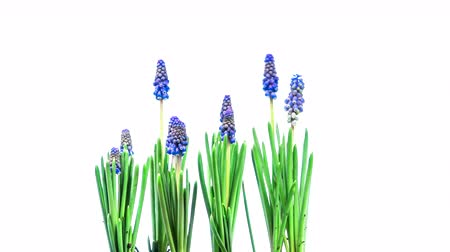 jacinto : Blooming Flowers Time Lapse, grape hyacinth Muscari Vídeos
