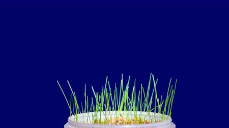 появление : Growing green grass plant time lapse
