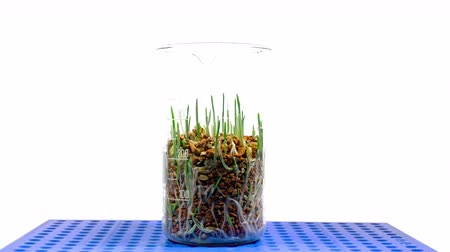 sow : Green grass growing time lapse in lab. Green plant in test tubes in laboratory. Close up.