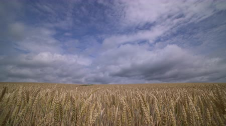 view of Wheat field with blue sky