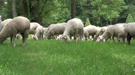 fondness : Sheep graze in the meadow Stock Footage