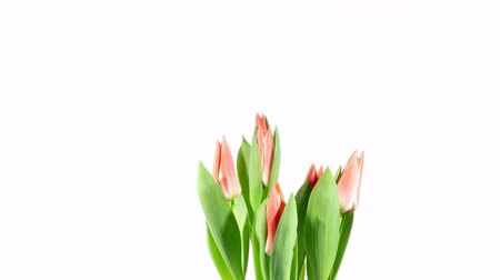 czas : opening flowers tulips time lapse
