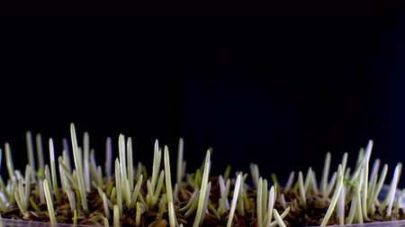Growing green grass on black background time lapse