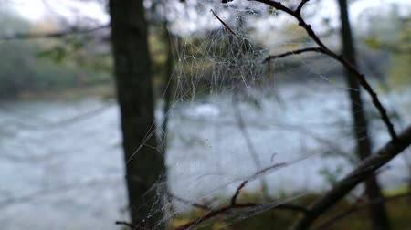 хрупкость : spiderweb on a tree branches in autumn fog Стоковые видеозаписи