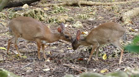 hapis : two small deers in zanzibar prison island forest in africa Stok Video