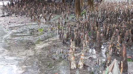 detail of a mangrove in a low tide in africa Dostupné videozáznamy