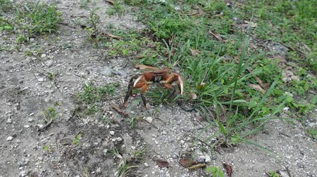 and side walking big crab in run in grass