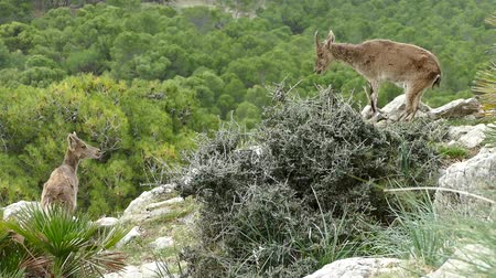 mountain goats on rocks in nature around el chorro in spain