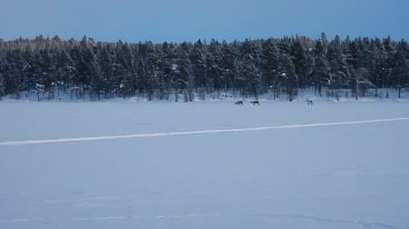 horned : reindeers running on a frozen lake Stock Footage