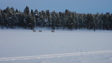 arctic tundra : reindeers running on a frozen lake Stock Footage