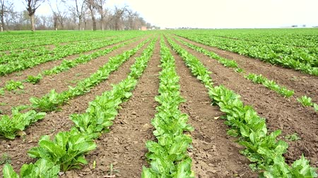 Field with rows of sugar beet hd video