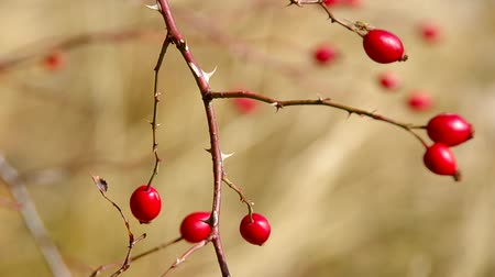 rosehips : Rosehip on a branch in the wind
