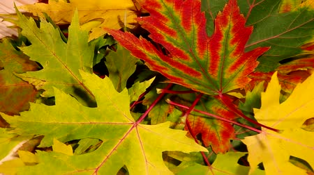 yaprak döken : Brightly colored leaves are turning on the table