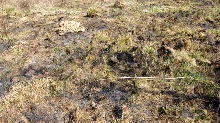 сухой : Burned grass in the spring, behind the village Стоковые видеозаписи