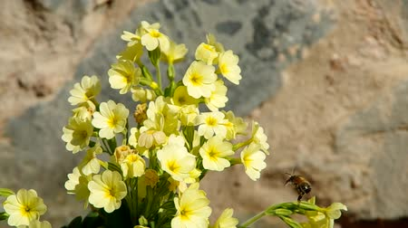 kankalin : Yellow primroses in the wind