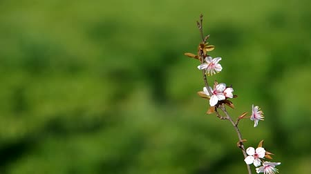 florido : Flowery branch of plum tree on green background in the wind.