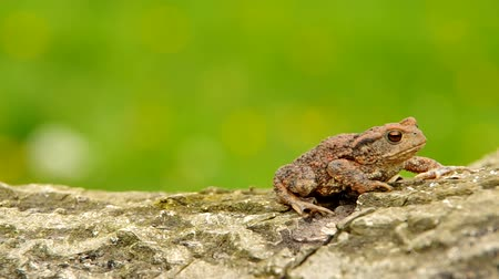 žába : Toad frog on a wooden bark and green background Dostupné videozáznamy