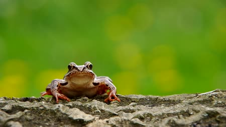 bullfrog : Edible Frog on a wooden bark and green background