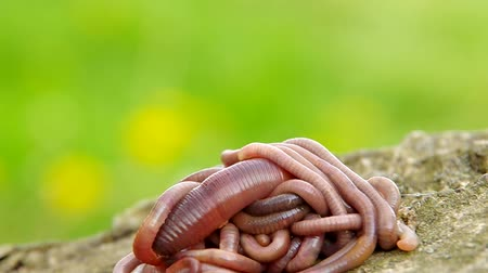 féreg : Earthworms on a wooden bark and green background