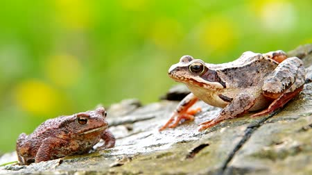 rana : Edible Frog and Toad Frog on a wooden bark and green background