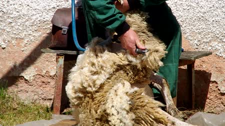 koyun : Shearing sheep in corral with an electric clipper